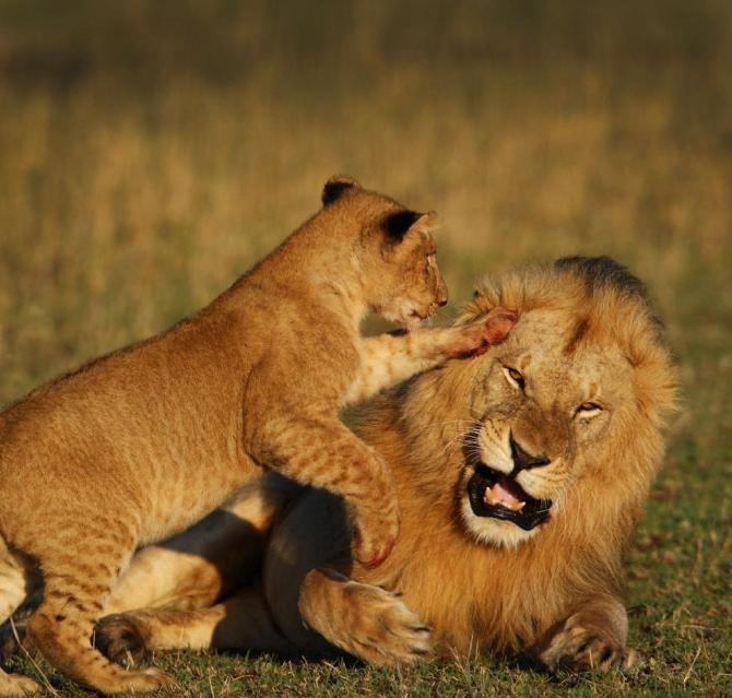 1-Botswana_safari_Okavango_Delta_Lion
