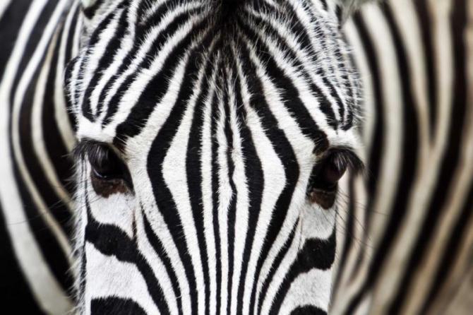 africa-safari-zebra-close-up_0