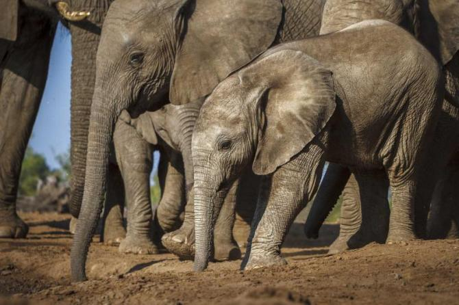 africa_botswana_a_herd_of_elephants_at_a_waterhole
