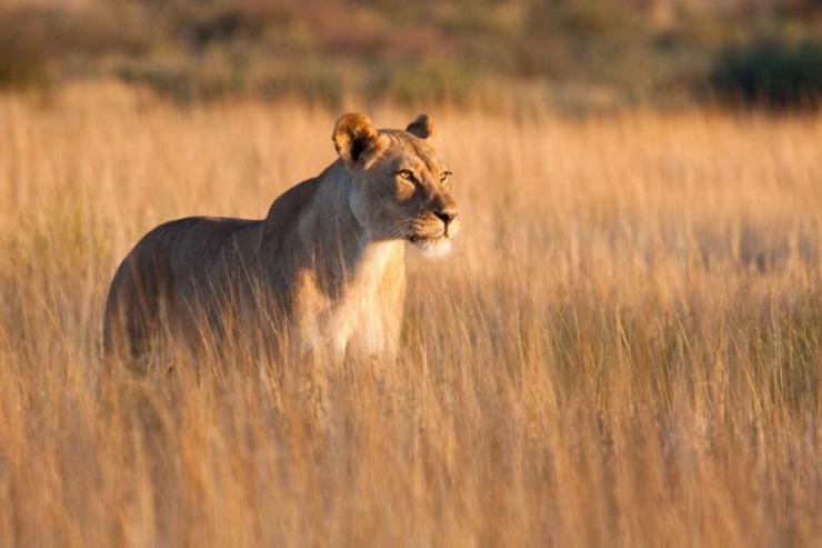 africa_botswana_a_lioness_in_long_grass_0