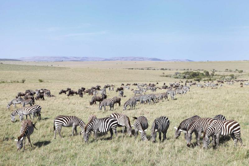 africa_botswana_beautiful_landscape_with_zebras_and_wildebeest_grazing_migration