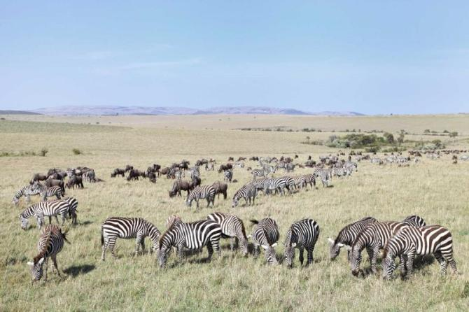 africa_botswana_beautiful_landscape_with_zebras_and_wildebeest_grazing_migration