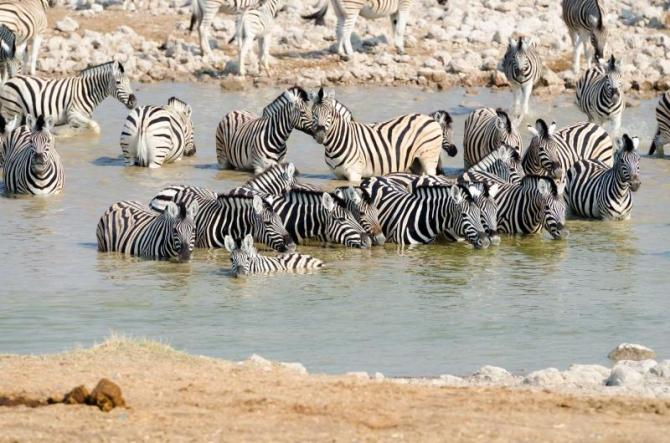 africa_botswana_herd_of_burchells_zebras_in_a_watering_hole_with_a_foal_in_the_foreground_migration