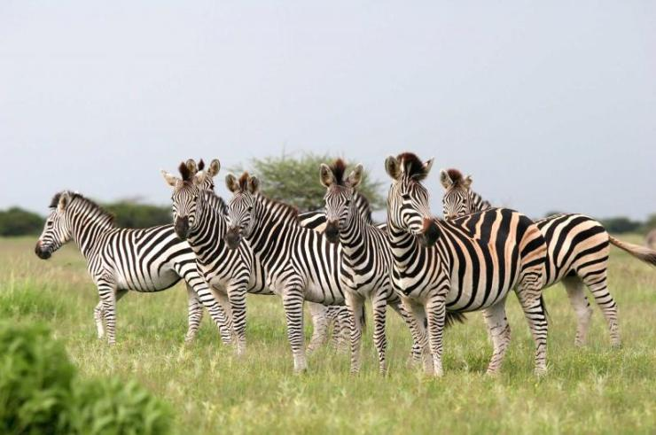 africa_botswana_herd_of_burchells_zebras_looking_at_camera_nxai_pans_national_park_0