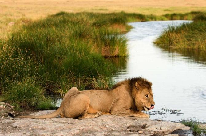 africa_botswana_kenya_tanzania_east_african_or_massai_lion