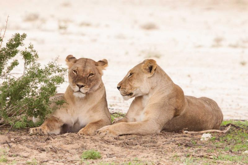 africa_botswana_kgalagadi_transfrontier_park_portrait_of_two_lazy_lionesses_lying_in_the_shade_0