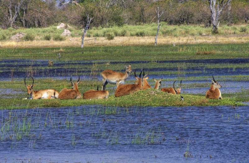 africa_botswana_okavango_delta_antelopes_lechwe_4