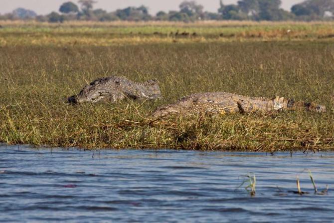 africa_botswana_okavango_horizontal_crocodiles_couple_1