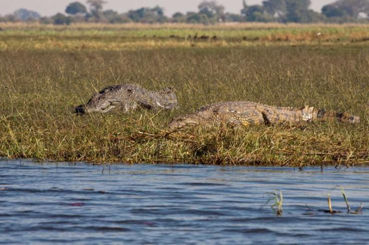 africa_botswana_okavango_horizontal_crocodiles_couple_1