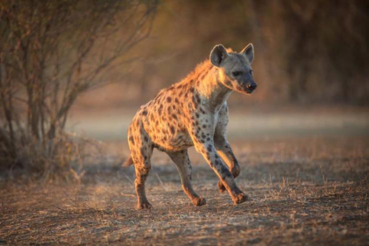 africa_botswana_spotted_hyena_in_chobe_national_park_botswana