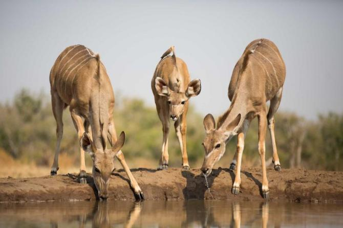 africa_botswana_two_adult_kudu_cows_and_a_calf_drinking_at_a_waterhole_0