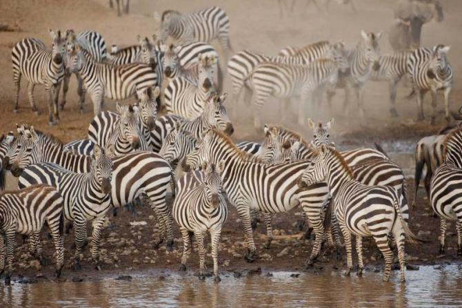 africa_botswana_zebras_in_afternoon_light
