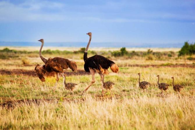 africa_kenya_amboseli_ostrich_family_walking_on_savanna_1