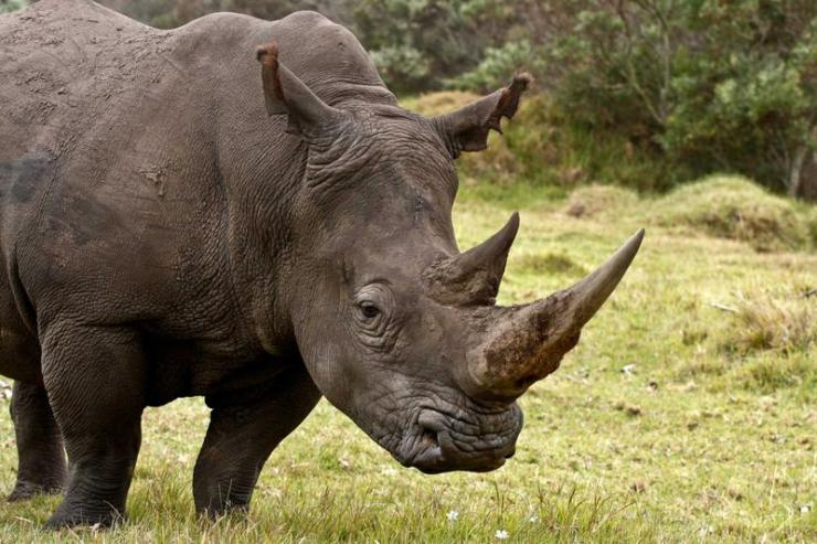africa_large_male_rhinoceros_about_to_graze-1