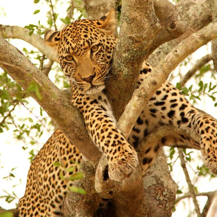 Africa_Leopard_in_a_Tree_in_the_Sabi_Sands_Reserve_0
