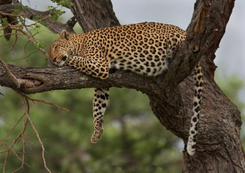 africa_leopard_resting_after_meal_in_tree