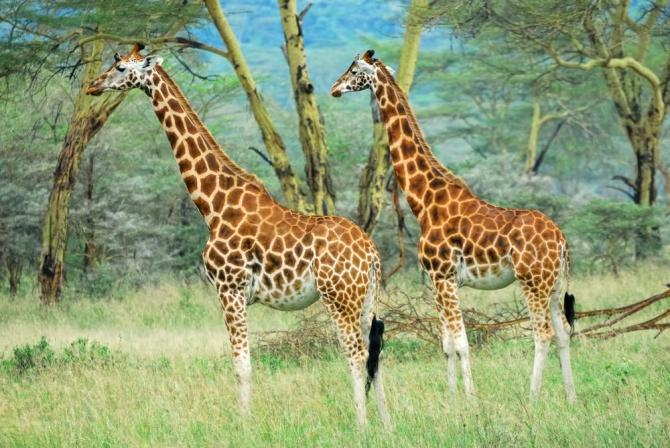 Africa_Masai_Race_Giraffes_in_the_Lake_Nakuru_National_Park