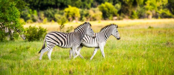 africa_okavango_delta_zebra_walks_on_the_grass_in_the_moremi_game_reserve_okavango_river_delta_national_park_botswana_h1_0