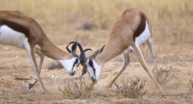 africa_safari_two_male_springbok_fighting