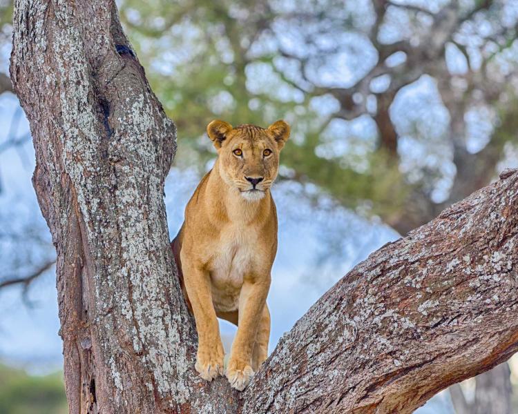 africa_tanzania_a_female_lion_standing_in_the_crook_of_a_tree_tarangire_national_park_manyara_0