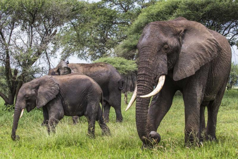 africa_tanzania_african_elephant_in_the_tarangire_national_park_tanzania