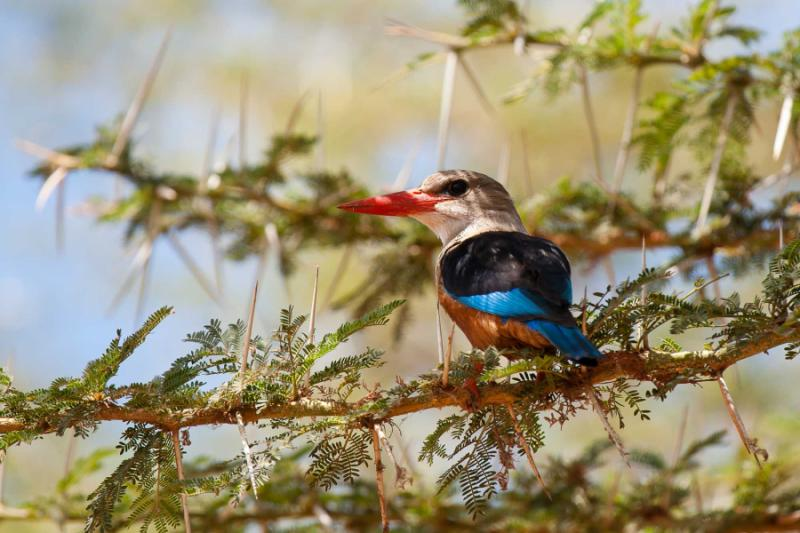 africa_tanzania_grey-headed_kingfisher_on_a_thorny_stick_in_the_lake_manyara_national_park_tanzania