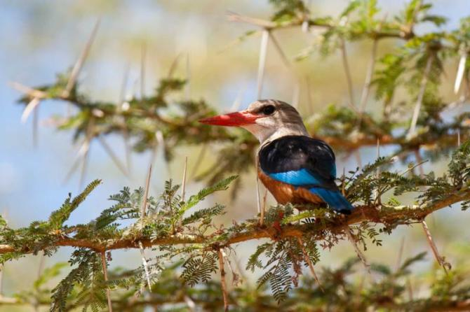 africa_tanzania_grey-headed_kingfisher_on_a_thorny_stick_in_the_lake_manyara_national_park_tanzania