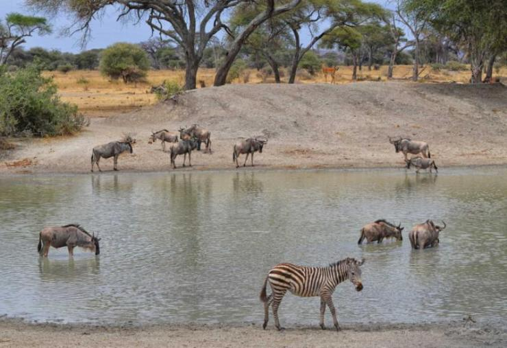 africa_tanzania_herd_of_gnus_zebra_and_impala_in_the_tarangire_national_park_tanzania