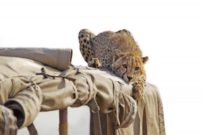 africa_tanzania_kenya_cheetah_lying_on_the_roof_of_a_safari_jeep