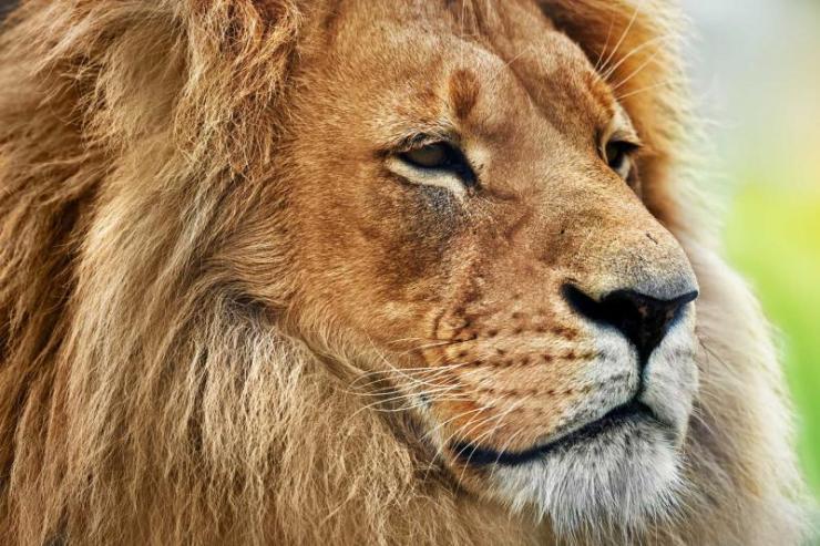 africa_tanzania_kenya_lion_portrait_on_savanna
