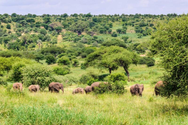 africa_tanzania_marching_elephants_in_the_tarangire_national_park_tanzania