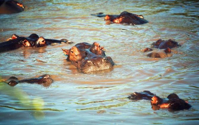 africa_tanzania_serengeti_hippopotamus_group_in_river