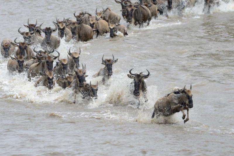 africa_wildebeest_crossing_the_mara_river