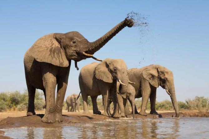 africabotswanaaherdofafricanelephantsdrinkingatamuddywaterhole
