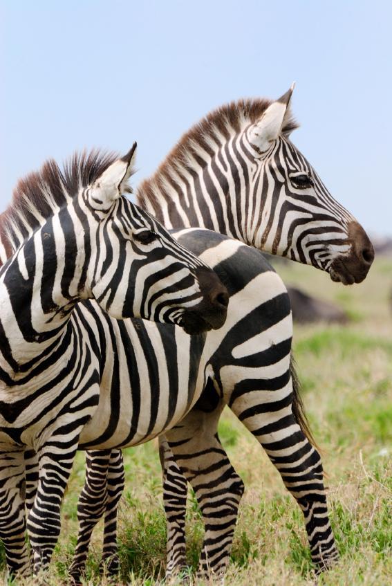 African_Safari_Zebras_0