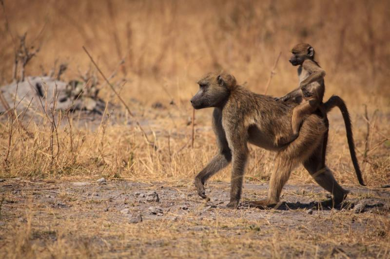 baboon_baby_riding_on_it39s_mother39s_back
