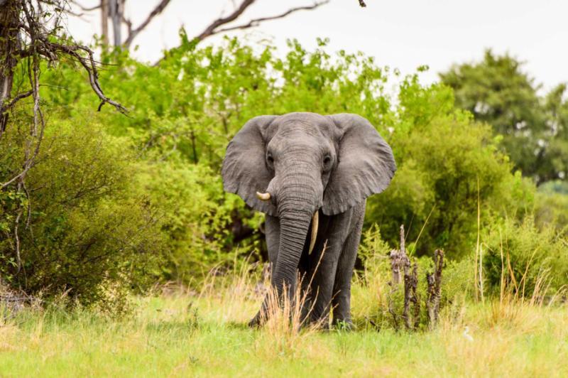 beautiful_elephant_in_the_moremi_game_reserve_okavango_river_delta_national_park_botswana_0