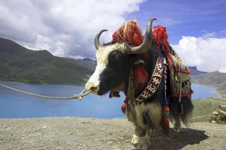 bhutan_yangzhuoyongcuo_tibets_lakes_and_yak