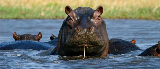 botswana-okavango-delta-hippo-with-a-straw_1