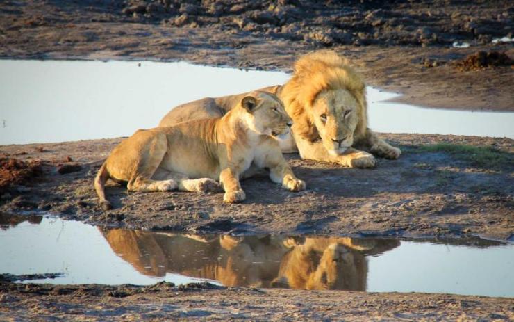 botswana-okavango-delta-lion-pair