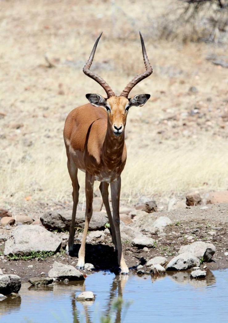 botswana_african_impala_-_somak