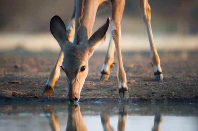 botswana_close_up_image_of_an_impala_doe_drinking_at_a_waterhole