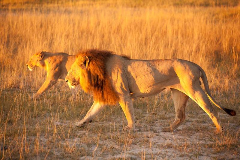 botswana_couple_of_lions