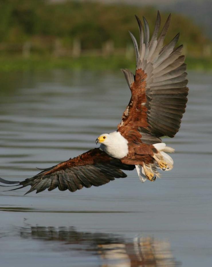 botswana_okavango_delta_tour_african_fish_eagle