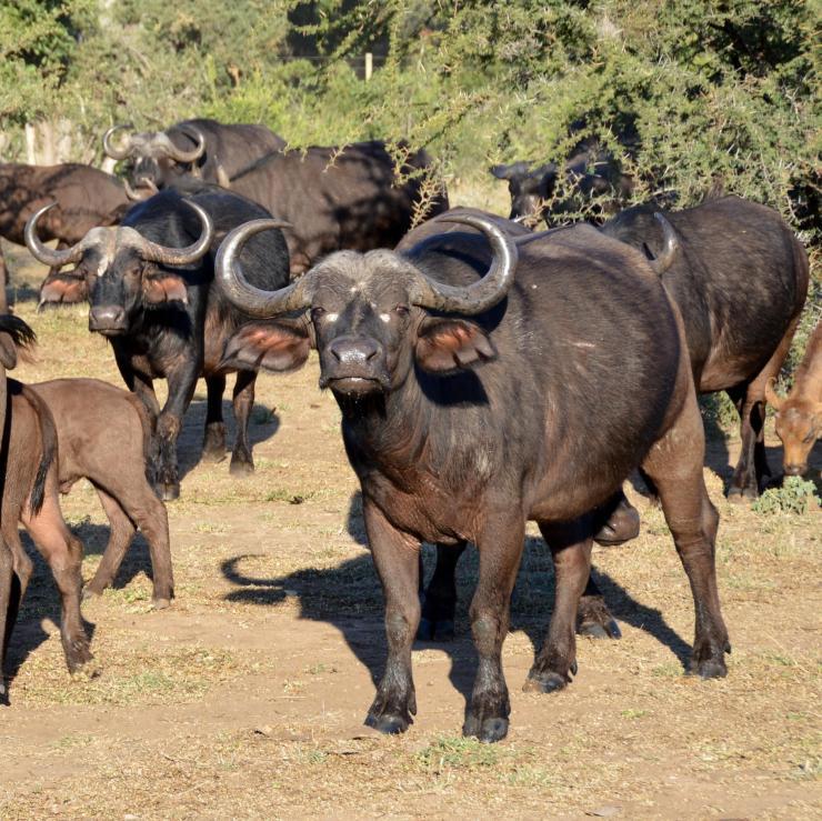 Buffalos_AfricanSafari