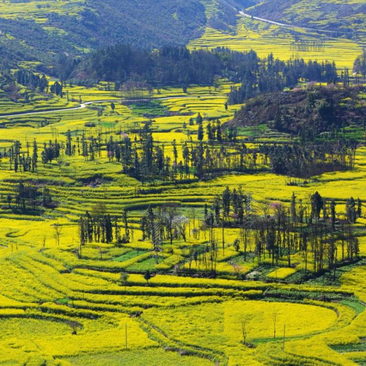 china_beautiful_yellow_field_full_of_rapeseed_in_luoping_at_yunnan_of_china_0