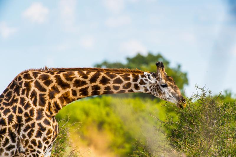 giraffe_portrait_in_the_moremi_game_reserve_okavango_river_delta_national_park_botswana