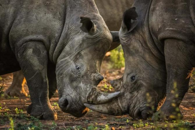 herd_of_rhino_fighting_in_dust_at_sunrise_south_africa