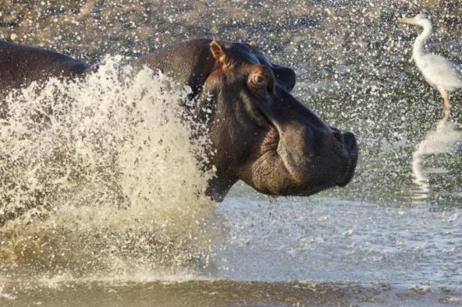 hippopotamus_hippopotamus_amphibius_running_into_water_kruger_park_south_africa