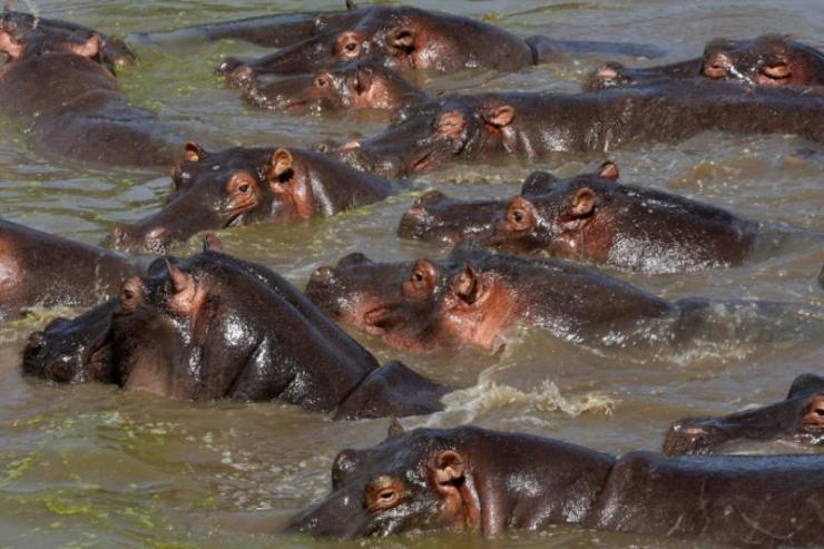 hippos_-_serengeti_wildlife_conservation_area_safari_tanzania_east_africa